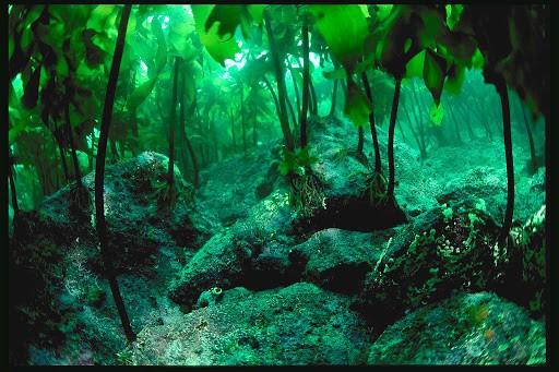 kelp sea water