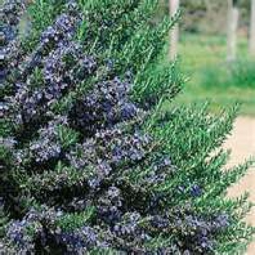 blue_lagoon_rosemary_3