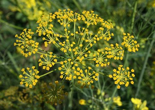 fennel-flower-7