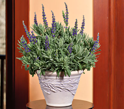 lavender home
