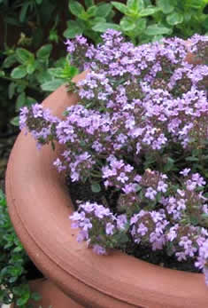 Lilac_Time_Thyme235