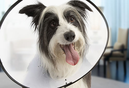 getty_rf_photo_of_dog_with_cone