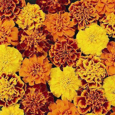 Marigold_Petite_Mix