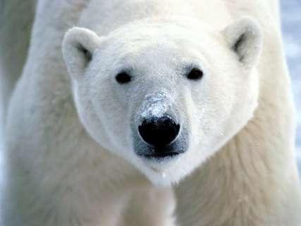 polar-bear-7b21899e1e16add8da7d0db2072fea95c4c650b8