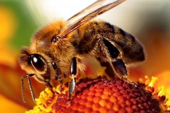 Bee-apis-350x233