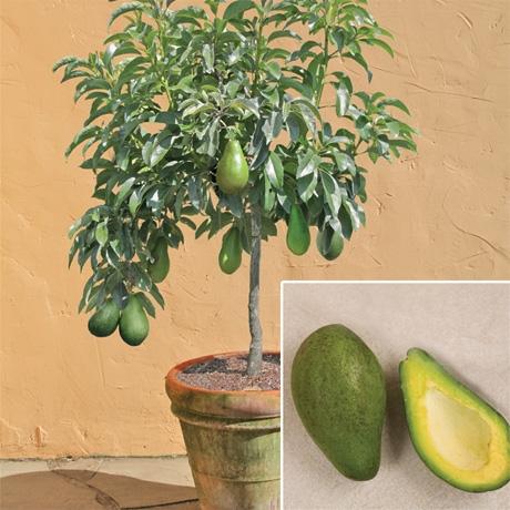 avocado-tree-pot