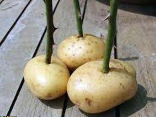 roses-potatoes