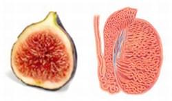 fig-uterus