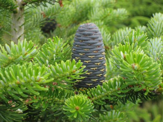 fir-terpenoides