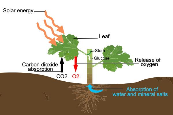 Photosynthesis-600