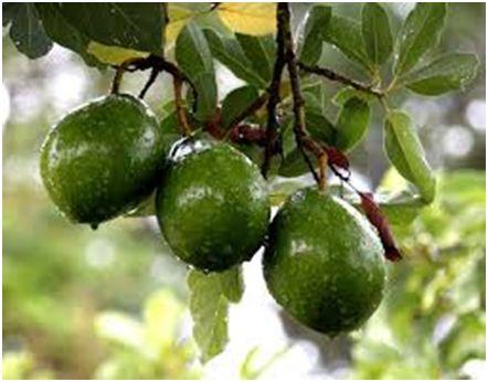 Авокадото – Първа част от Марион Колева