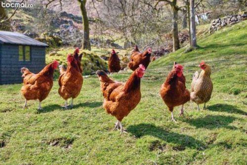 chicken 2944-300