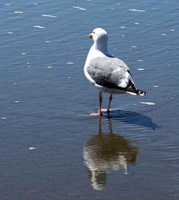 Чайките пренасят суперустойчиви бактерии