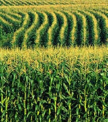 Култури на царевицата (2) от Марион Колева