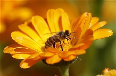Пчелите се предупреждават за вражески атаки