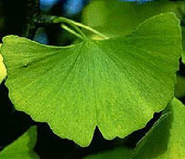 Гинко билоба предпазва от радиационното увреждане