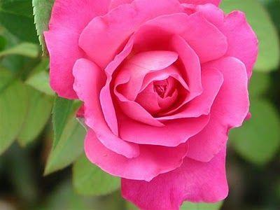 rosas_1