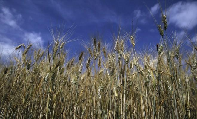 ГМО пшеницата в САЩ, необратимата инвазия
