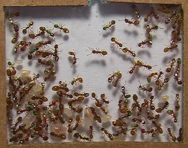 Мравките по-разумни от хората?