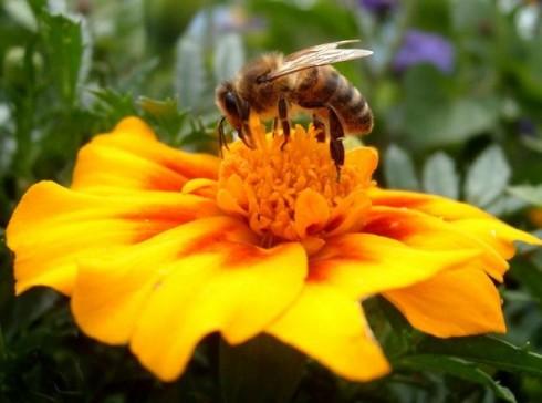 Пчелен прашец и куркумин при простатит и рак на простатата