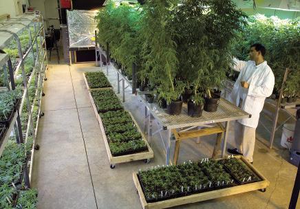 Медицинската марихуана лекува рак