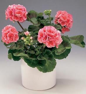 pelargonium_zonale_hybrid