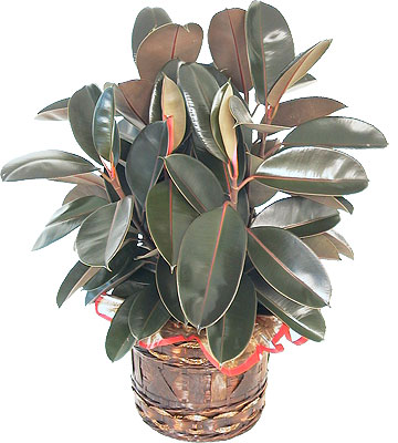 rubber plant plante1