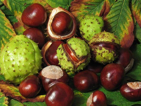 varicose conkers 04