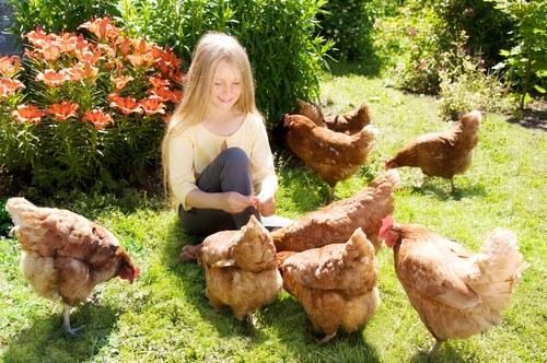 Отглеждане на кокошки в задния двор