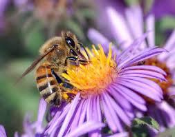 Още за Apis Mellifica и други чудесни хомеопатични лекове