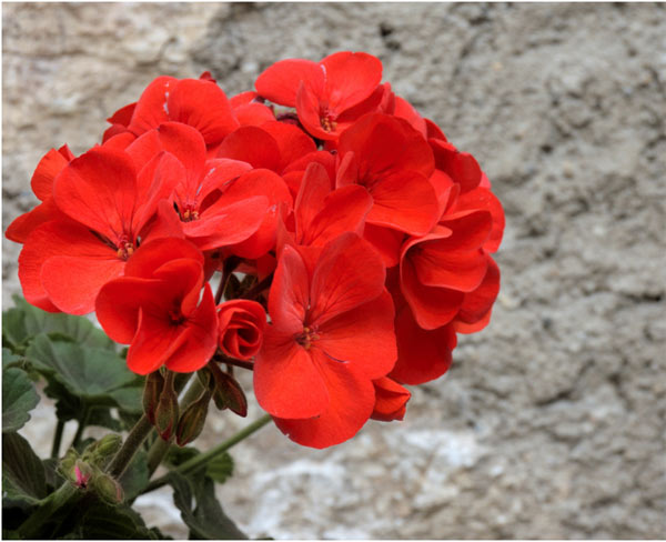 benefits-of-geranium-for-skin
