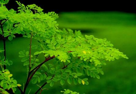 Moringa-tree-445x310