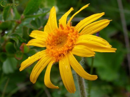 Арника, нежна грижа за здраве и красота
