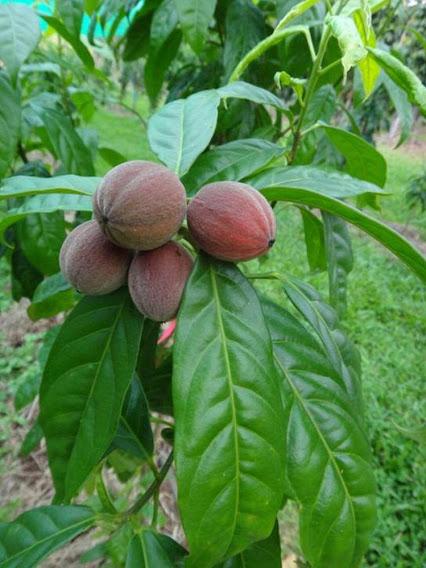 blushwood-berries