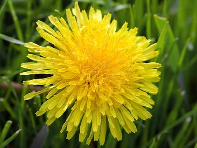 7 лечебни и ядивни бурена – билки