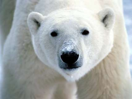 polar-bear-7b21899e1e16add8da7d0db2072fea95c4c650b8
