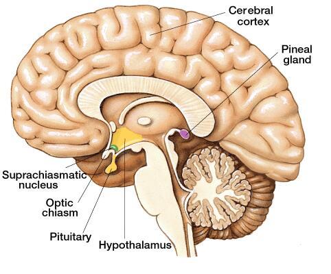 Декалциране на епифизната жлеза за повишено духовно и физическо здраве