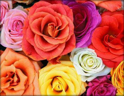 Пет цвята рози и техните значения