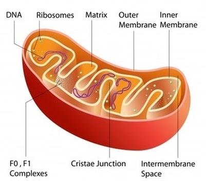 mitohondrii