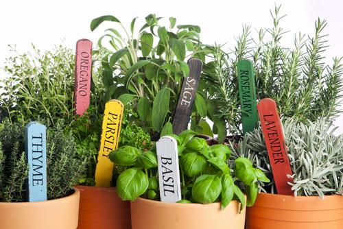Как да отглеждаме пресни билки през цялата зима и чайвс в градината