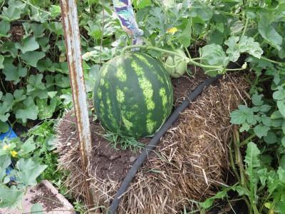 Градина в бали слама? Удобно, екологично и лесно отглеждане на зеленчуци…