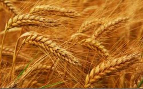 wheat-500x500
