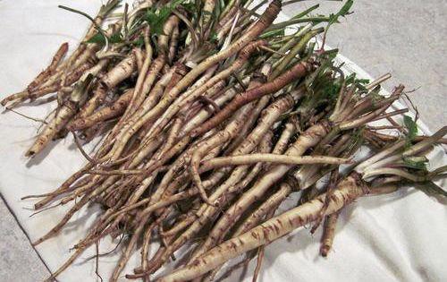 Този корен убива 98% от раковите клетки за само 2 дни