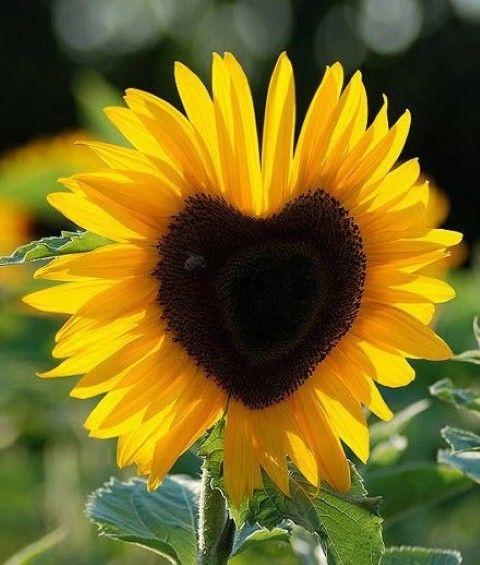 sunflower-positive
