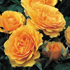 amber-roses