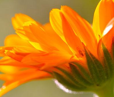 calendula-officinalis-herb_orig