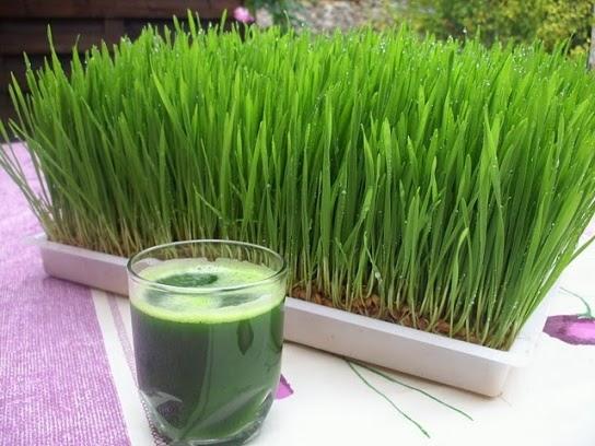 Как ечемичената трева предпазва от и лекува рака – и забавя стареенето