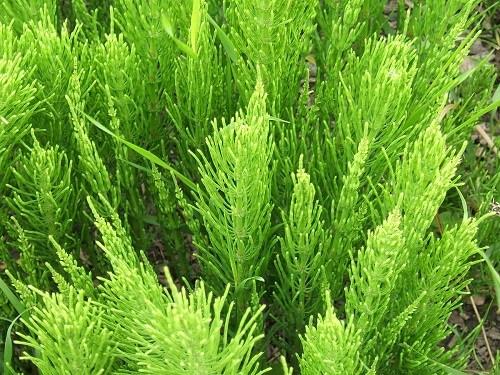 Използвайте това растение: първа линия на защита от заболявания на белите дробове и бъбреците