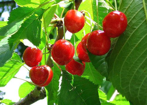Лековит еликсир от листа от вишна и антиоксидантна вода от вишни