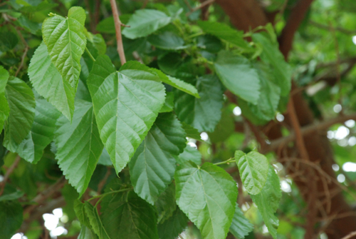 mulberry-leaves-powder